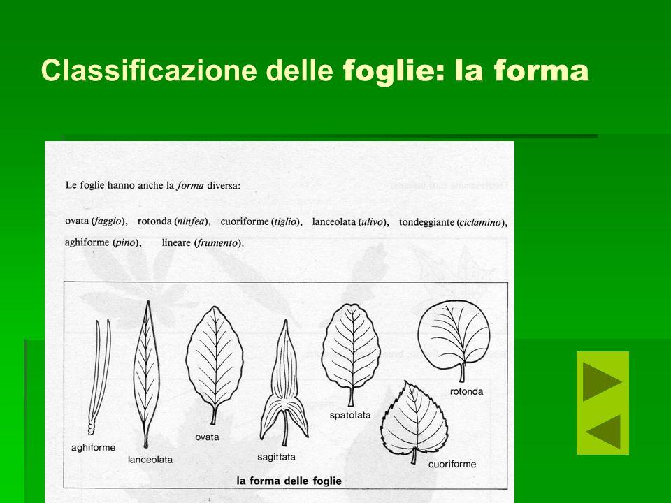 Classificazione delle foglie: la forma