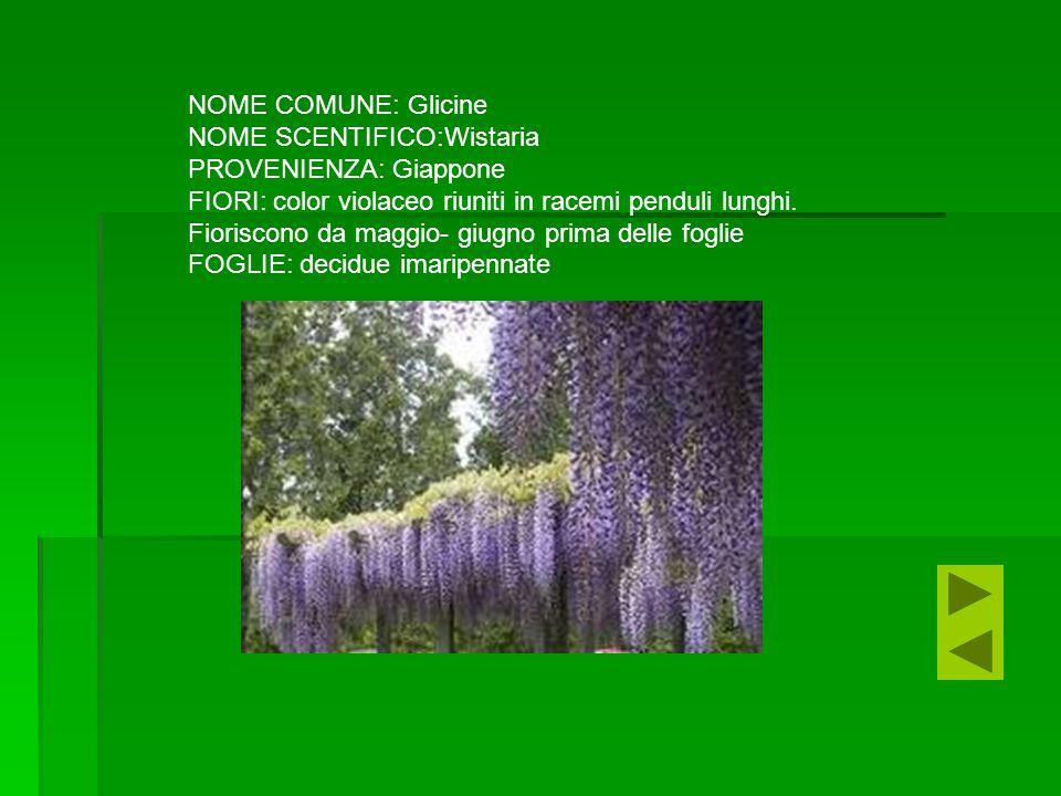 NOME COMUNE: Glicine NOME SCENTIFICO:Wistaria PROVENIENZA: Giappone FIORI: color violaceo riuniti in racemi penduli lunghi.