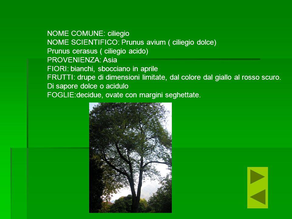 NOME COMUNE: ciliegio NOME SCIENTIFICO: Prunus avium ( ciliegio dolce) Prunus cerasus ( ciliegio acido)