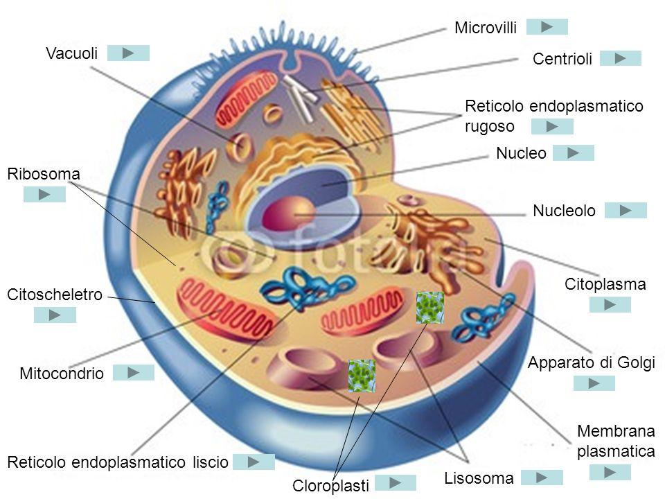 Microvilli Vacuoli. Centrioli. Reticolo endoplasmatico rugoso. Nucleo. Ribosoma. Nucleolo. Citoplasma.