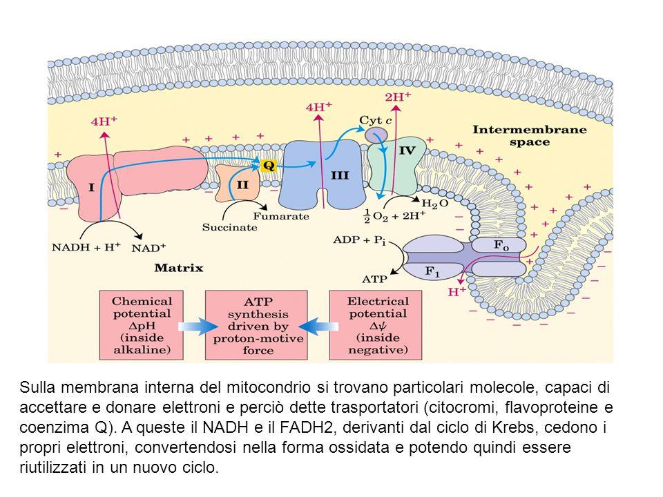 Sulla membrana interna del mitocondrio si trovano particolari molecole, capaci di accettare e donare elettroni e perciò dette trasportatori (citocromi, flavoproteine e coenzima Q).