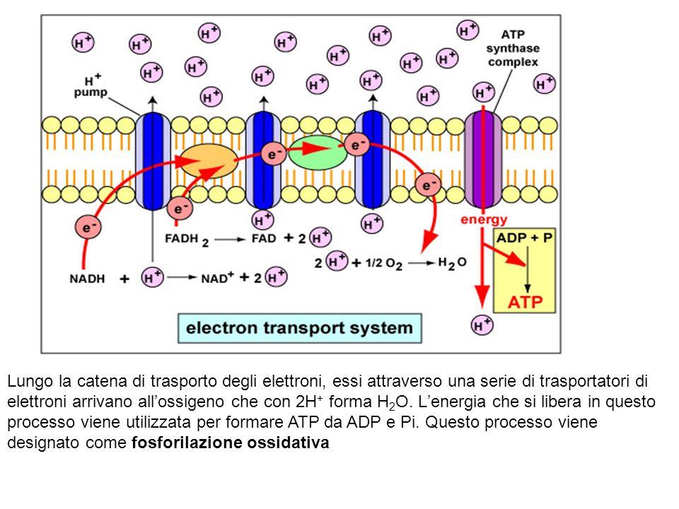 Lungo la catena di trasporto degli elettroni, essi attraverso una serie di trasportatori di elettroni arrivano all'ossigeno che con 2H+ forma H2O.