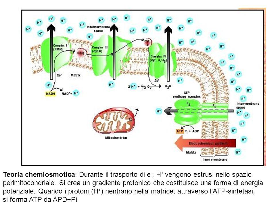 Teoria chemiosmotica: Durante il trasporto di e-, H+ vengono estrusi nello spazio