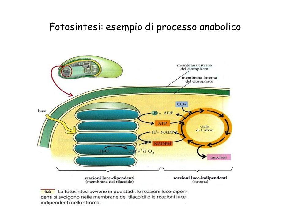 Fotosintesi: esempio di processo anabolico