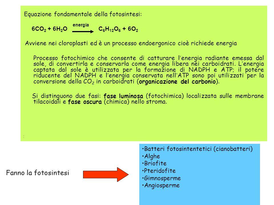 Fanno la fotosintesi 6CO2 + 6H2O C6H12O6 + 6O2