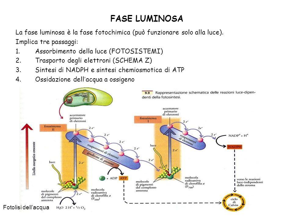 FASE LUMINOSA La fase luminosa è la fase fotochimica (può funzionare solo alla luce). Implica tre passaggi: