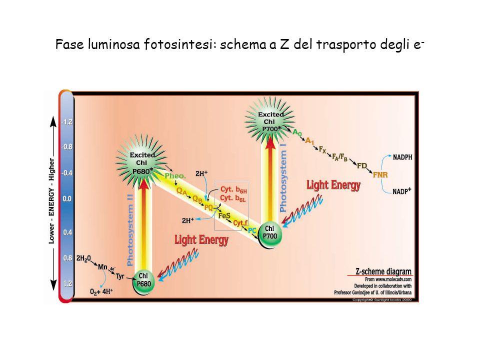 Fase luminosa fotosintesi: schema a Z del trasporto degli e-
