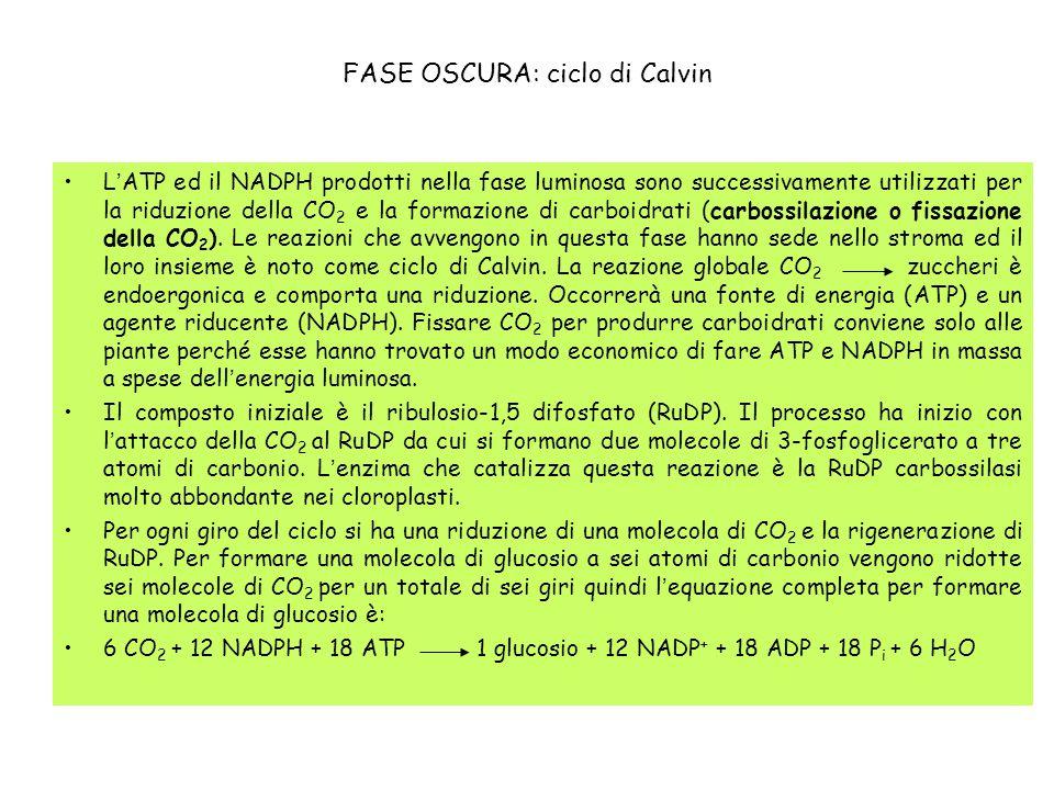 FASE OSCURA: ciclo di Calvin
