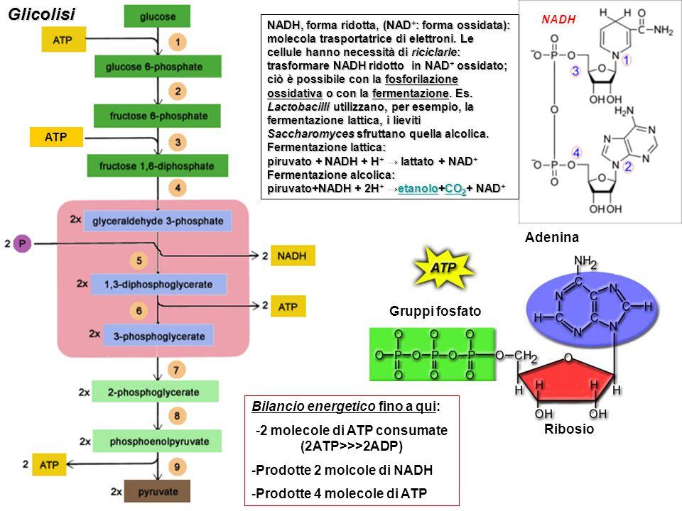 2 molecole di ATP consumate (2ATP>>>2ADP)