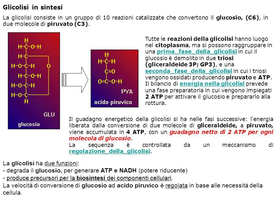 La glicolisi ha due funzioni: