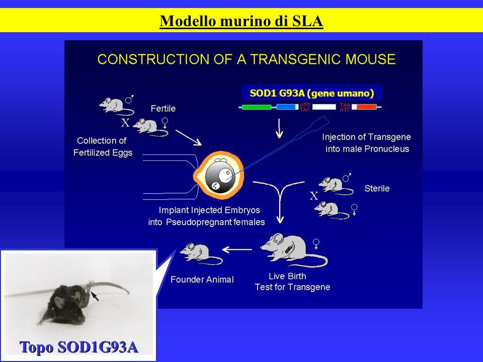 Modello murino di SLA Topo SOD1G93A