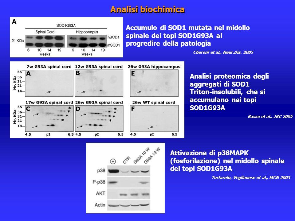 Analisi biochimica Accumulo di SOD1 mutata nel midollo spinale dei topi SOD1G93A al progredire della patologia.