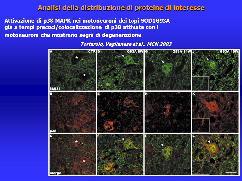 Analisi della distribuzione di proteine di interesse