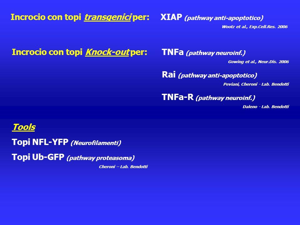 Incrocio con topi transgenici per: XIAP (pathway anti-apoptotico)