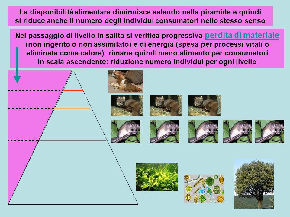 La disponibilità alimentare diminuisce salendo nella piramide e quindi si riduce anche il numero degli individui consumatori nello stesso senso