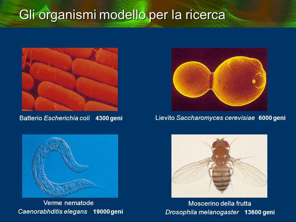 Batterio Escherichia coli 4300 geni