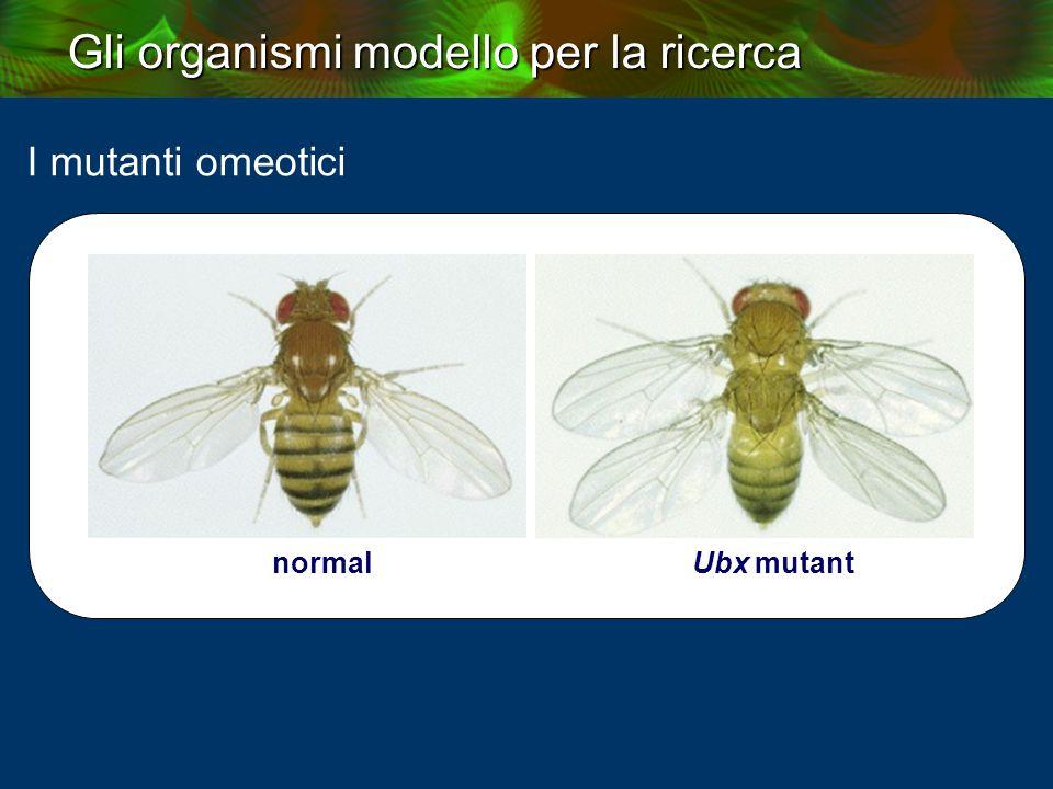 I mutanti omeotici normal Ubx mutant
