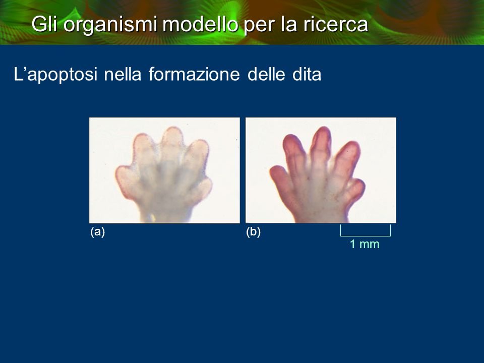 L'apoptosi nella formazione delle dita