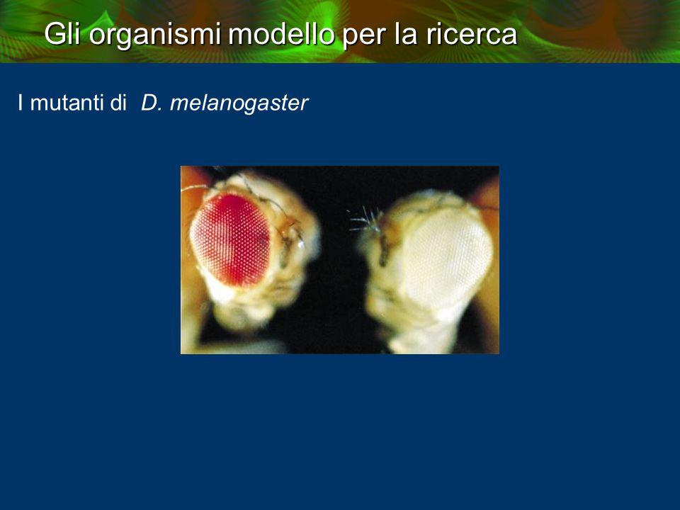 I mutanti di D. melanogaster