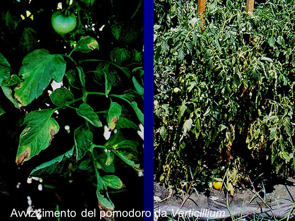 Avvizzimento del pomodoro da Verticillium