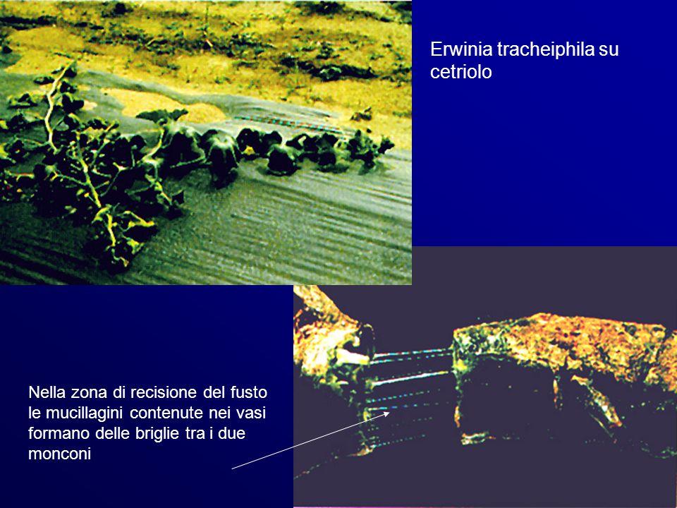 Erwinia tracheiphila su cetriolo