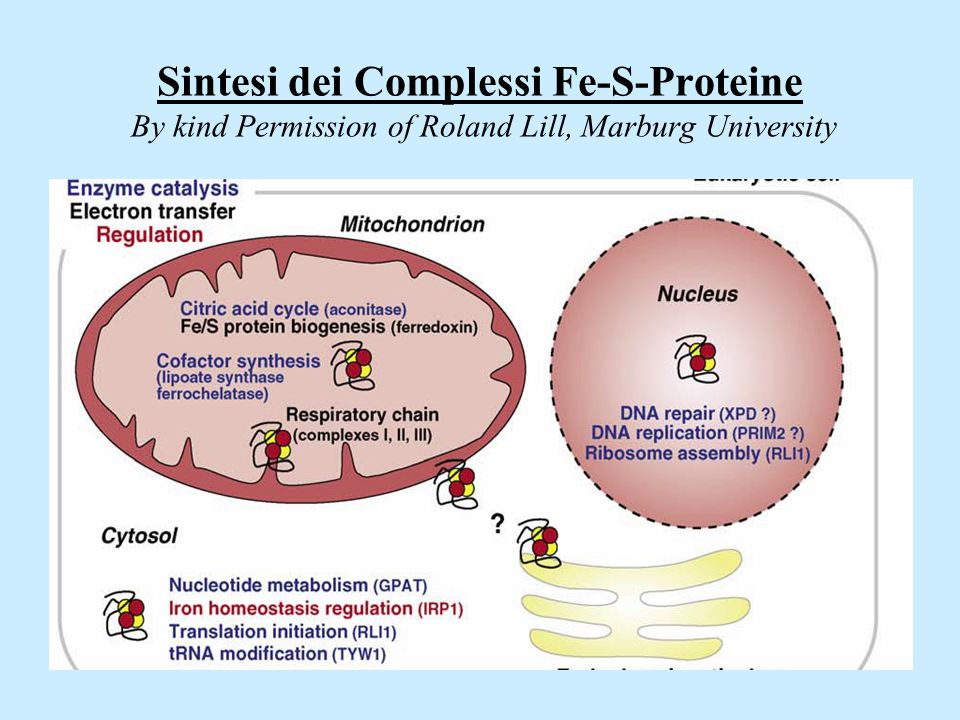 Sintesi dei Complessi Fe-S-Proteine By kind Permission of Roland Lill, Marburg University