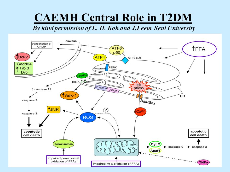 CAEMH Central Role in T2DM By kind permission of E. H. Koh and J