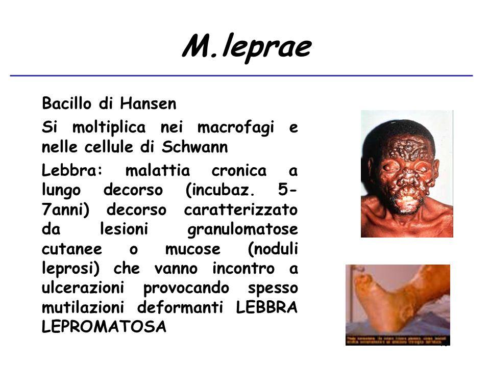 M.leprae Bacillo di Hansen