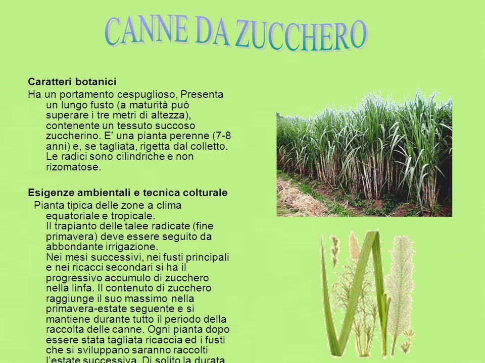 CANNE DA ZUCCHERO Caratteri botanici