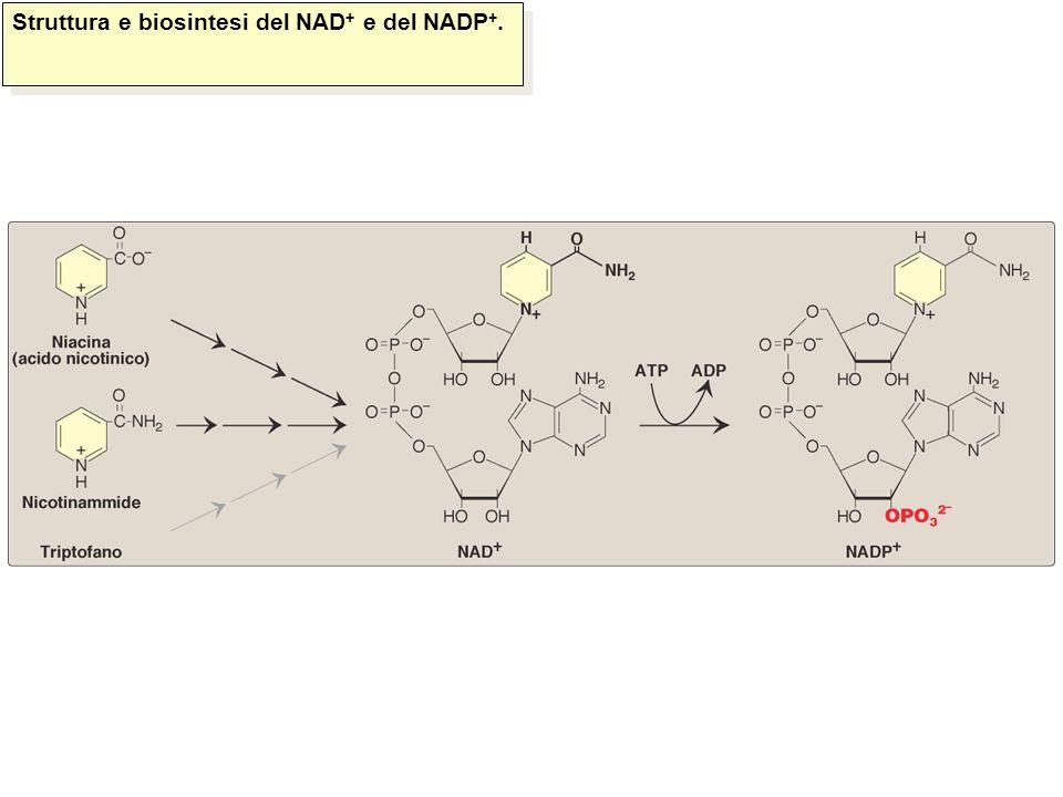 Struttura e biosintesi del NAD+ e del NADP+.