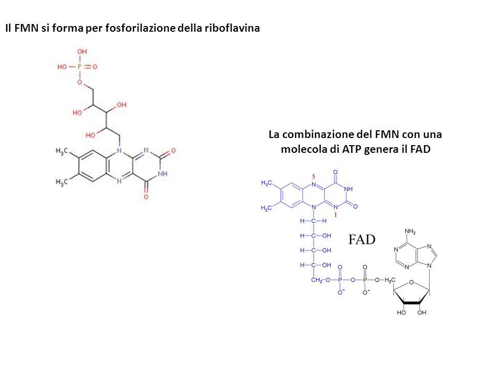 La combinazione del FMN con una molecola di ATP genera il FAD