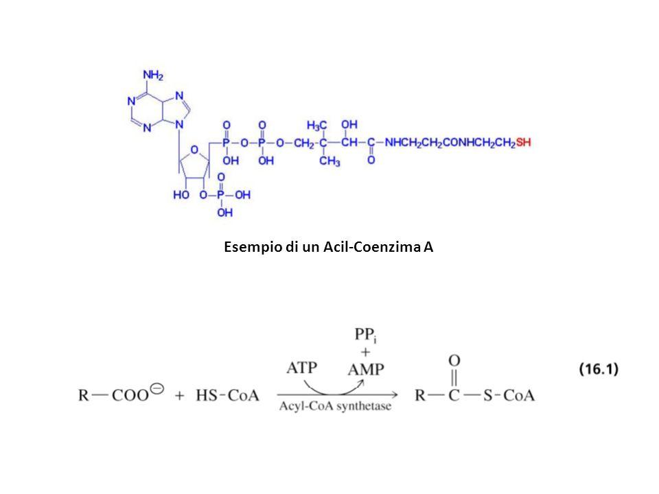 Esempio di un Acil-Coenzima A