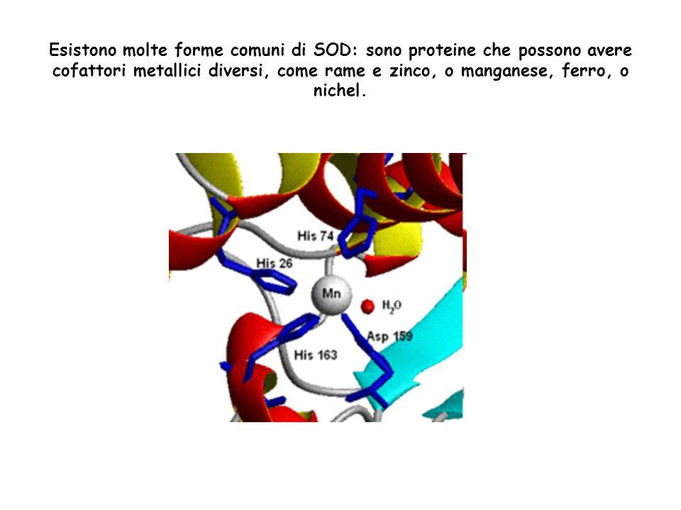 Esistono molte forme comuni di SOD: sono proteine che possono avere cofattori metallici diversi, come rame e zinco, o manganese, ferro, o nichel.