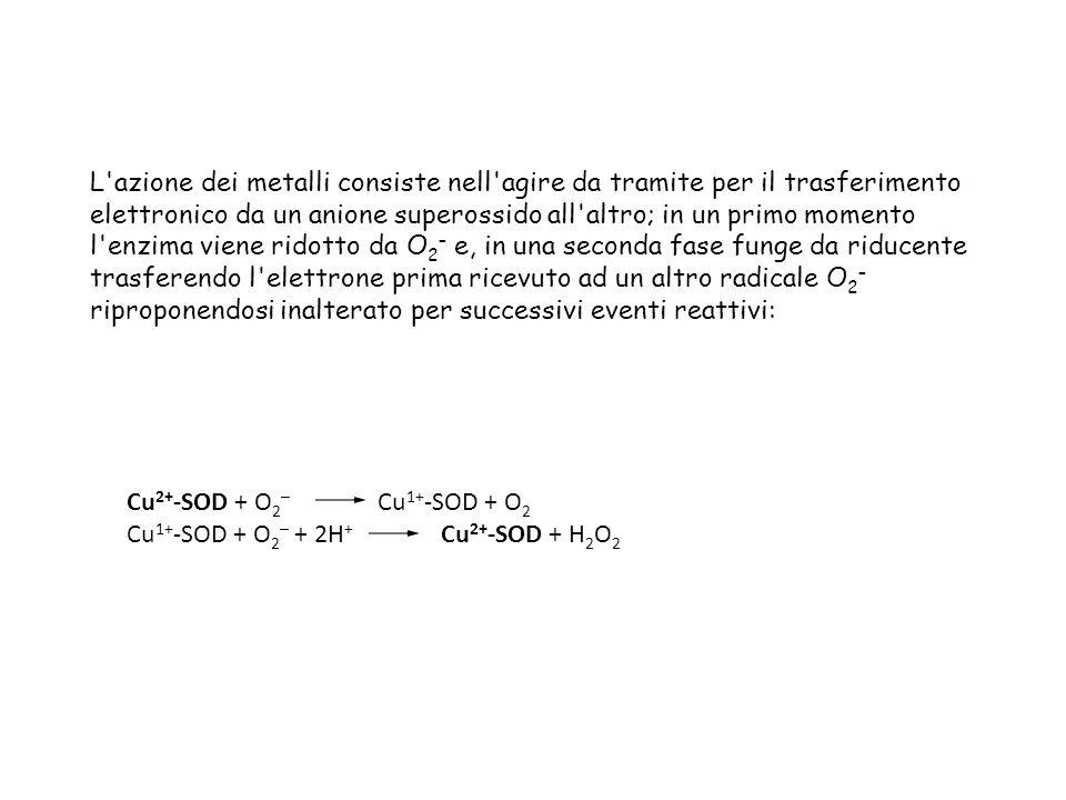 L azione dei metalli consiste nell agire da tramite per il trasferimento elettronico da un anione superossido all altro; in un primo momento l enzima viene ridotto da O2– e, in una seconda fase funge da riducente trasferendo l elettrone prima ricevuto ad un altro radicale O2– riproponendosi inalterato per successivi eventi reattivi: