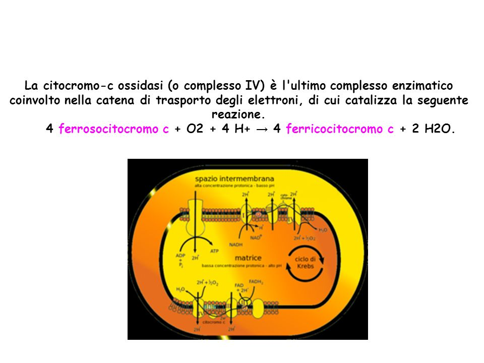 4 ferrosocitocromo c + O2 + 4 H+ → 4 ferricocitocromo c + 2 H2O.