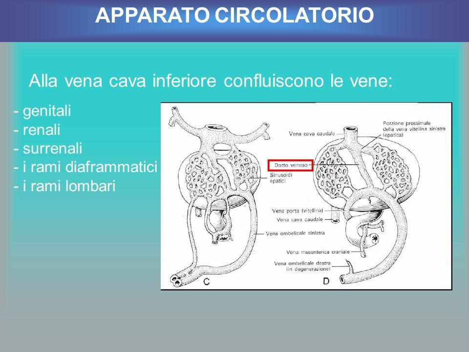 Alla vena cava inferiore confluiscono le vene: