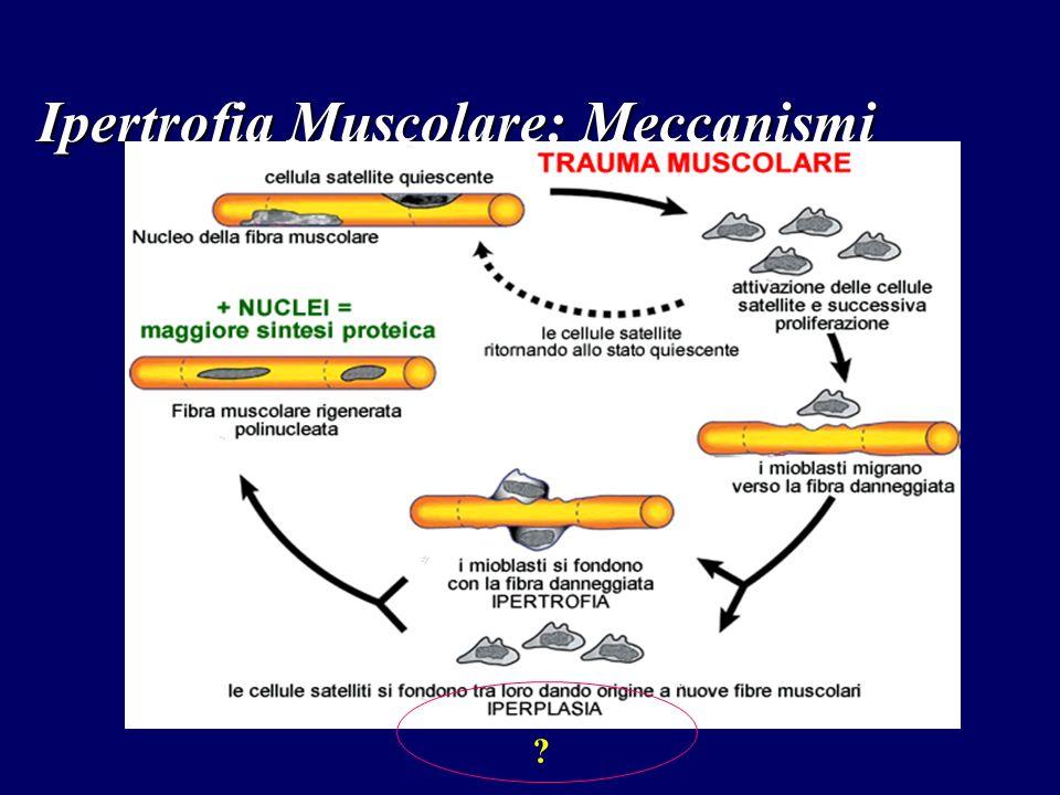 Ipertrofia Muscolare: Meccanismi