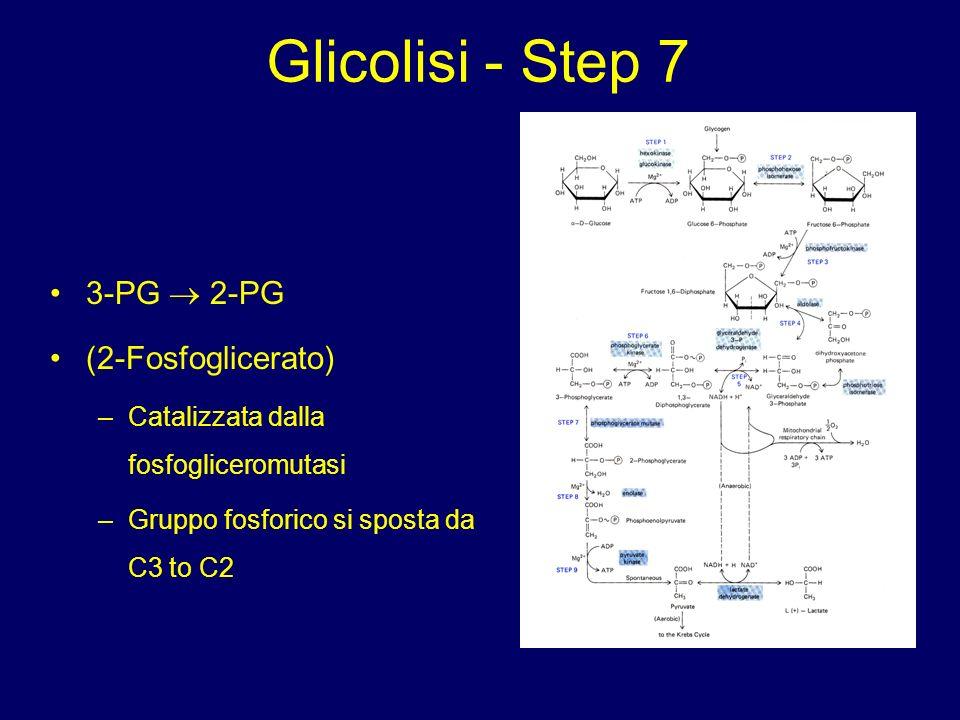 Glicolisi - Step 7 3-PG  2-PG (2-Fosfoglicerato)