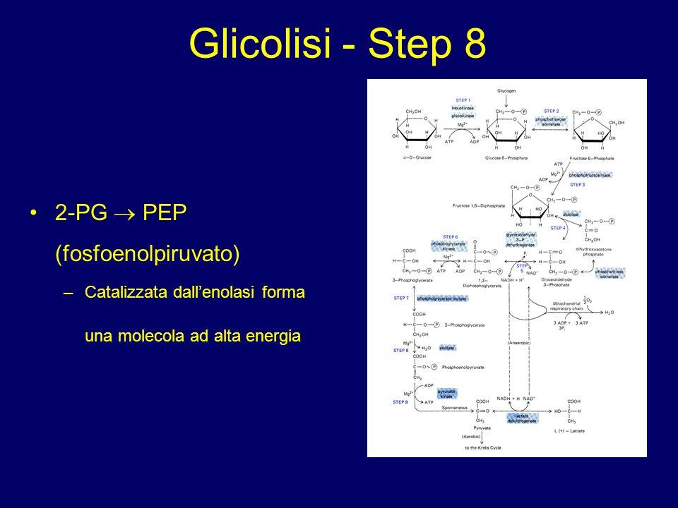 Glicolisi - Step 8 2-PG  PEP (fosfoenolpiruvato)