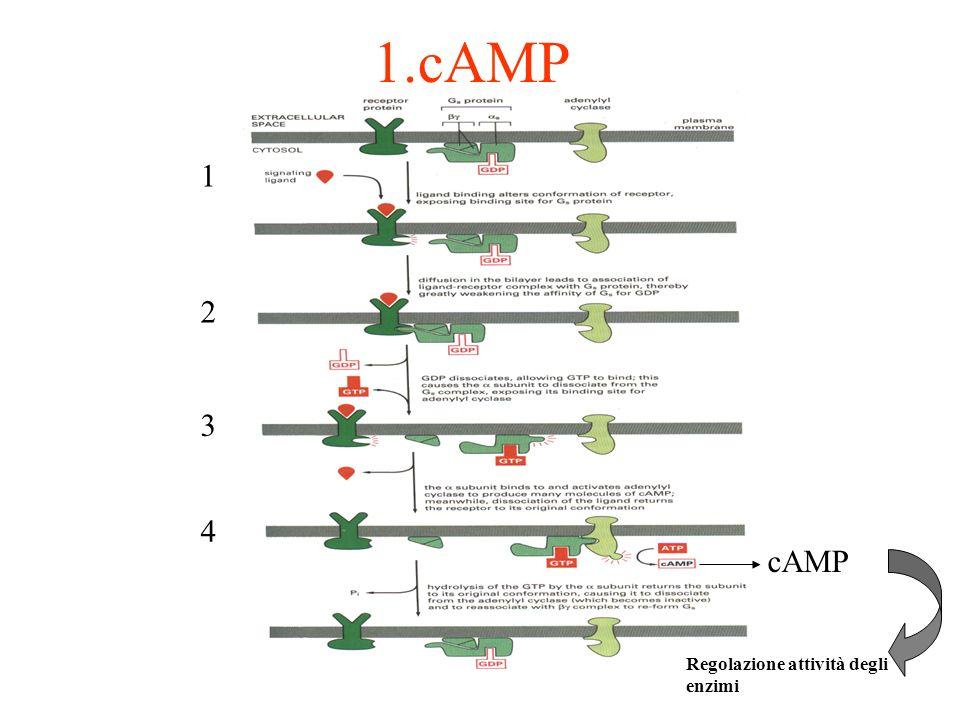 1.cAMP 1 2 3 4 cAMP Regolazione attività degli enzimi