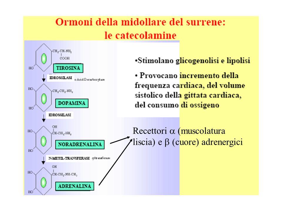 Recettori a (muscolatura liscia) e b (cuore) adrenergici