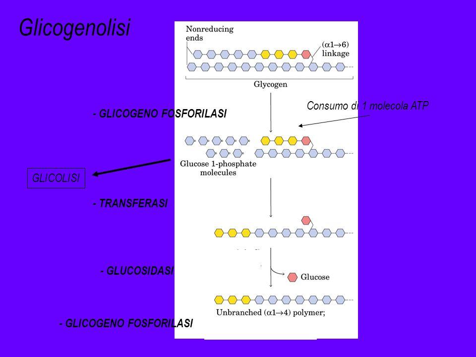 Glicogenolisi Consumo di 1 molecola ATP - GLICOGENO FOSFORILASI