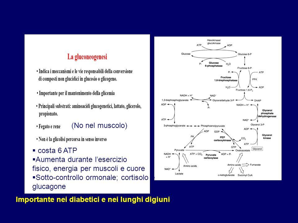 (No nel muscolo) costa 6 ATP. Aumenta durante l'esercizio. fisico, energia per muscoli e cuore. Sotto-controllo ormonale; cortisolo e.