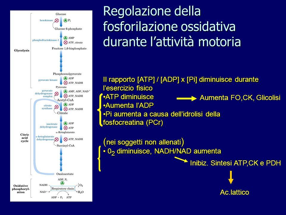 Regolazione della fosforilazione ossidativa durante l'attività motoria