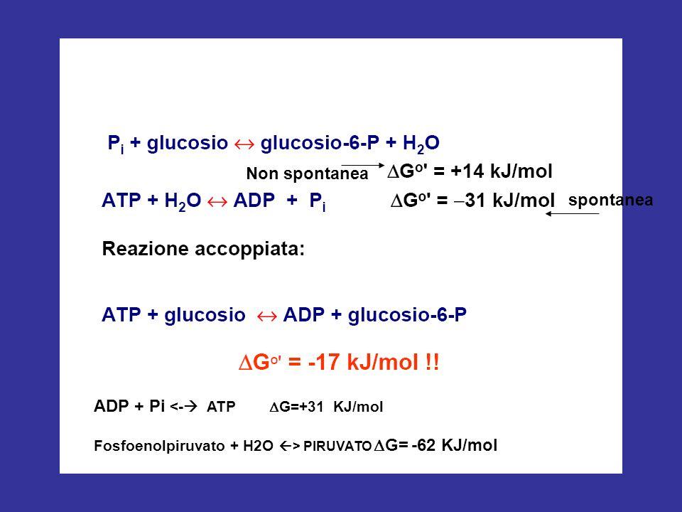 ADP + Pi <- ATP DG=+31 KJ/mol