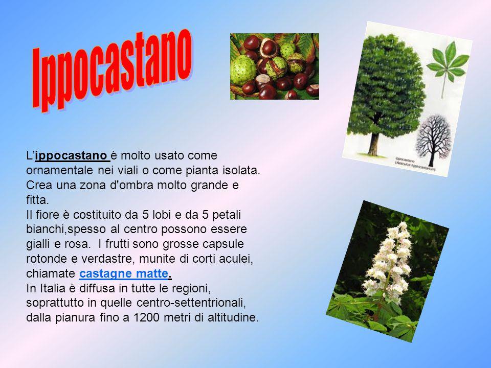 Ippocastano L'ippocastano è molto usato come ornamentale nei viali o come pianta isolata. Crea una zona d ombra molto grande e fitta.