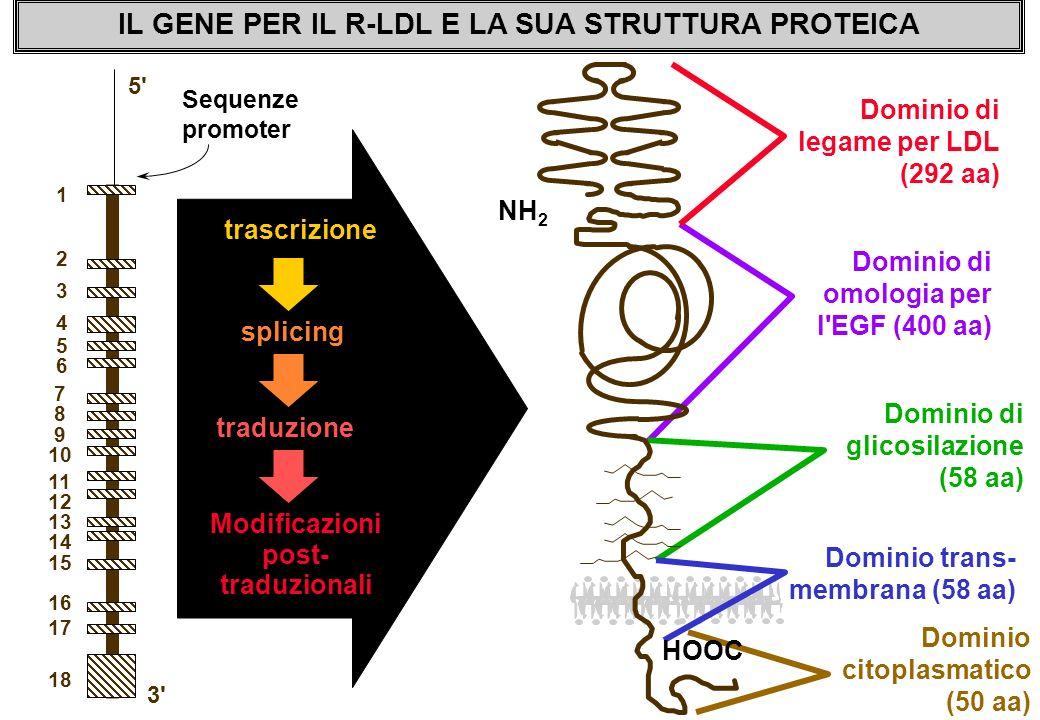 IL GENE PER IL R-LDL E LA SUA STRUTTURA PROTEICA