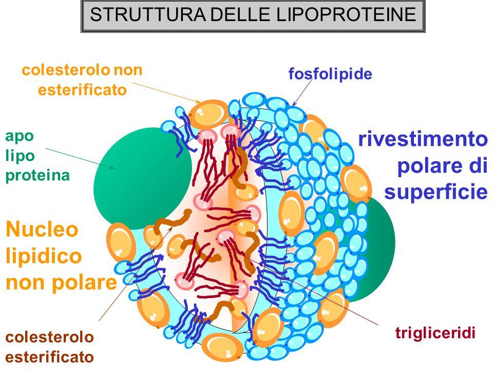 colesterolo non esterificato