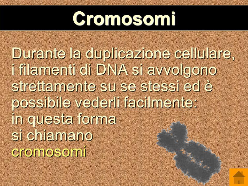 Cromosomi Durante la duplicazione cellulare, i filamenti di DNA si avvolgono strettamente su se stessi ed è possibile vederli facilmente: