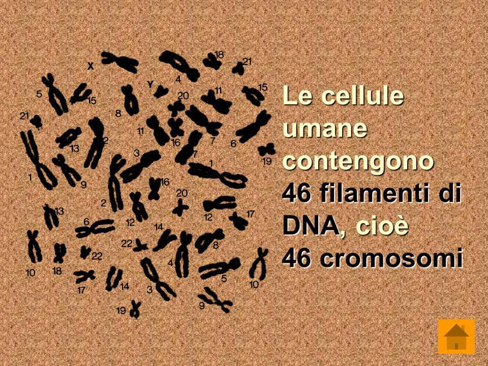 Le cellule umane contengono